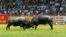Horns lock at controversial buffalo fighting festival in Vietnam