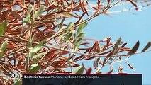 Agriculture : les oliviers français menacés par la bactérie tueuse