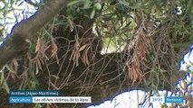 """Agriculture : mobilisation contre la bactérie """"tueuse d'oliviers"""" dans les Alpes-Maritimes"""