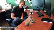 Two Ducklings Visited Sheriff's Office And Had A Blast
