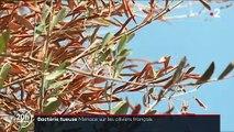 """La bactérie """"tueuse d'oliviers"""" détectée pour la première fois sur deux arbres dans les Alpes-Maritimes"""