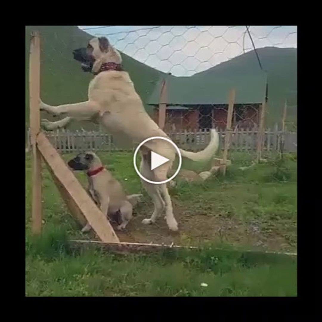DEV VE KOCA PATiLi ANADOLU COBAN KOPEGi - GiANT and BiG PAW ANATOLiAN SHEPHERD DOG