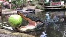 Cet énorme alligator broie une pastèque avec sa mâchoire surpuissante