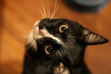 Los bigotes del gato: un órgano sensorial esencial