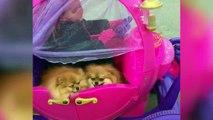 Funny Pomeranian Compilation 2017 - Cutest Pomeranian Videos Ever