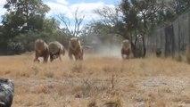 L'heure du repas pour ces lions du Antelope Park, Zimbabwe