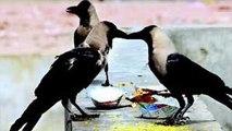 Pitru Paksha Crow Significance : पितृ पक्ष में कौए को खाना खिलाने के पीछे है ये कहानी | Boldsky