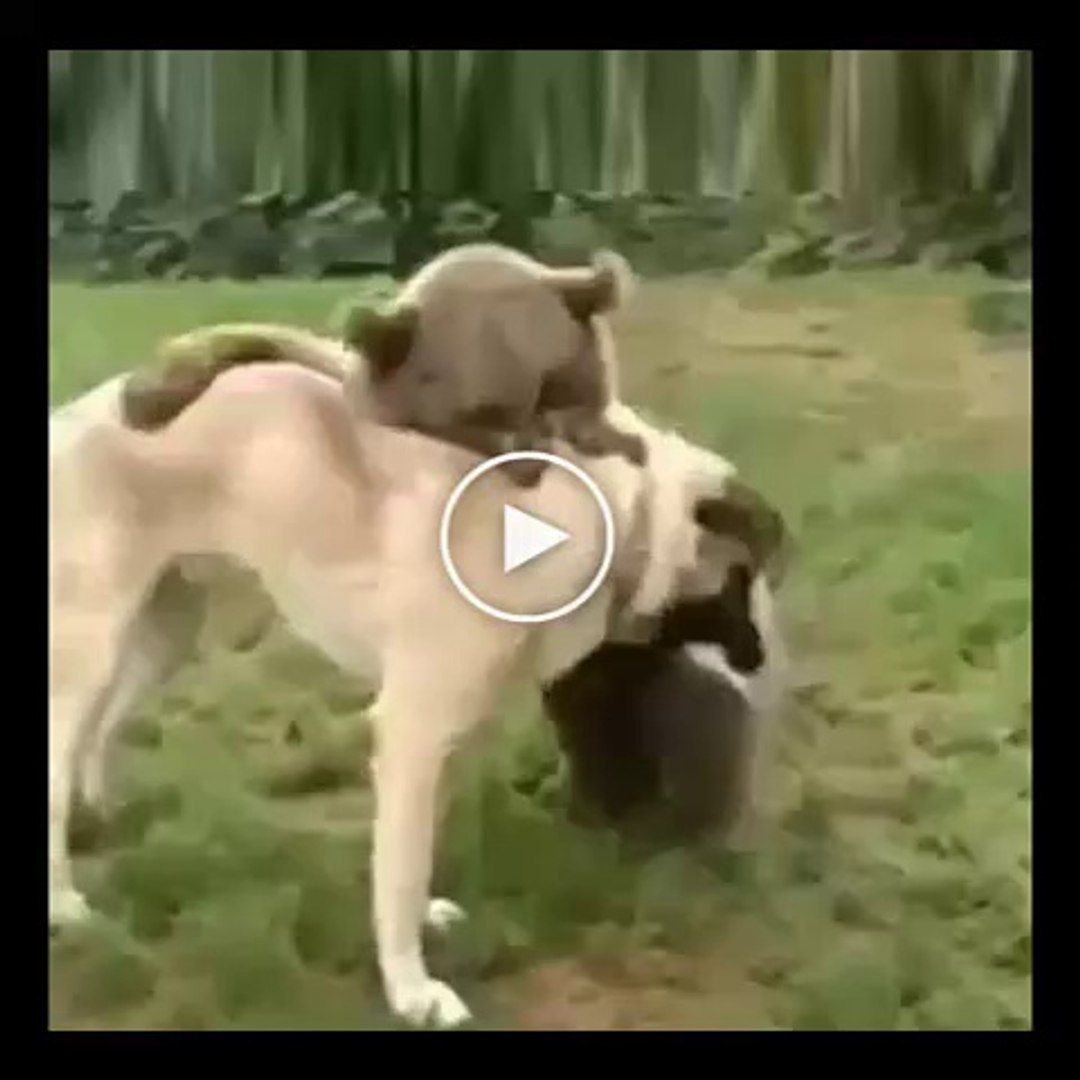 AYI vs ANADOLU COBAN KOPEGi - ANATOLiAN SHEPHERD DOG vs BEAR