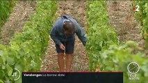 Vendanges : comment les viticulteurs choisissent le bon moment ?