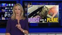 Découvrez les images surprenantes d'une Américaine qui voyage en cabine d'un avion avec ... son cheval miniature !
