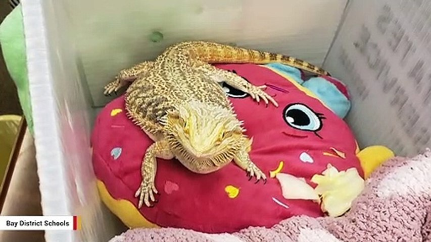 A Bearded Dragon Was Found In Florida School Student's Backpack