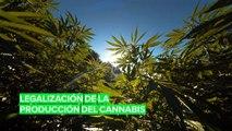 El gobierno de Holanda quiere legalizar la producción del cannabis