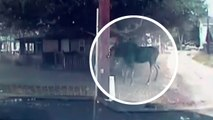 Sauvetage d'un élan coincé dans un hamac