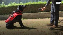 Haptic vest for service dogs enables 'remote control' for rescue operations