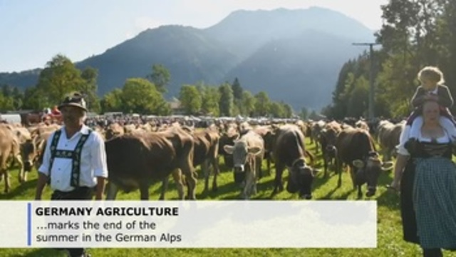 'Almabtrieb', traditional cattle drive in German Alps