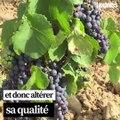 Et si des cépages du Moyen-Âge pouvaient sauver les vignes bourguignonnes?