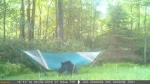 Bear Funnily Struggles to Get on Hammock and Lie Down