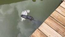 Regardez ce qui se cache sous ce ponton : un alligator en plein repas...