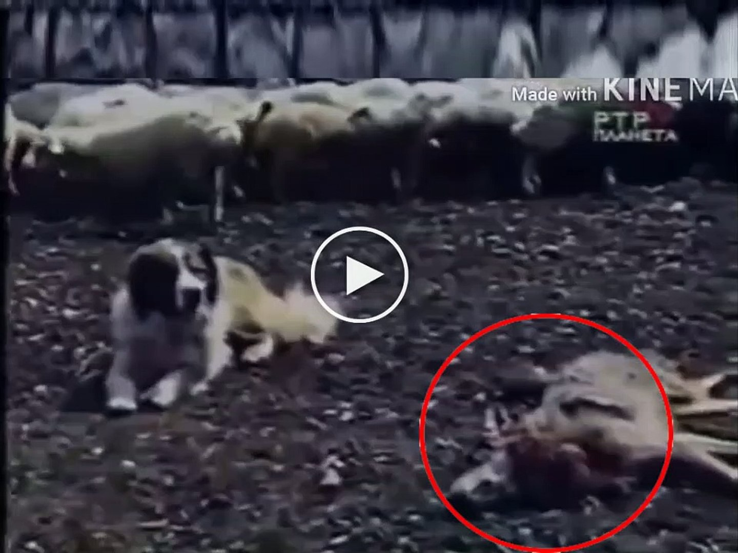ALABAY COBAN KOPEGi KURT KARSISINDA - COUCASiAN SHEPHERD DOG and WOLF ATTACK