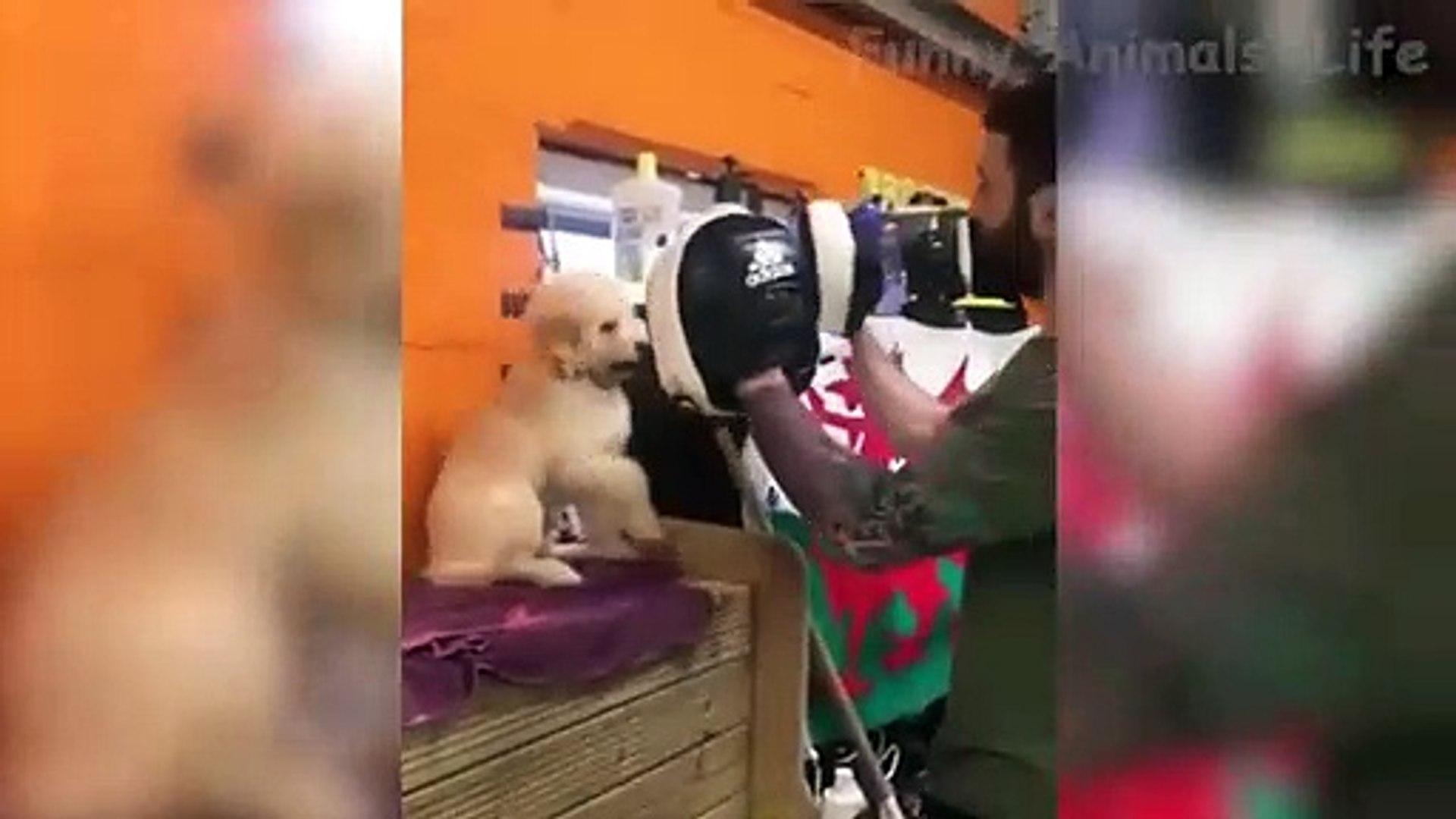 Tente não rir!  Gatos Cachorros - Animais de engraçados divertidos brincando