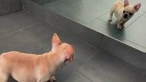 Ce chiot joue avec son reflet dans le miroir !