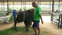 A New Home For an Adorable Crippled Thai Elephant