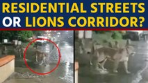Lions found roaming on Gujarat's Junagadh streets, video goes viral