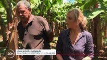 Antilles : le chlordécone, le poison des bananeraies, a infesté les sols