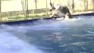 Dog Funnily Slips and Falls in Pool While Walking Around its Edge