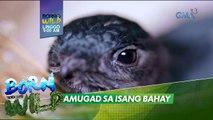 Born to be Wild: Libo-libong swiftlets, namugad at namahay sa isang bahay?