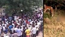 करौली बाघ हमला : चारपाई पर बैठे युवक को उठा ले गए टाइगर, तड़पा-तड़पाकर ली जान