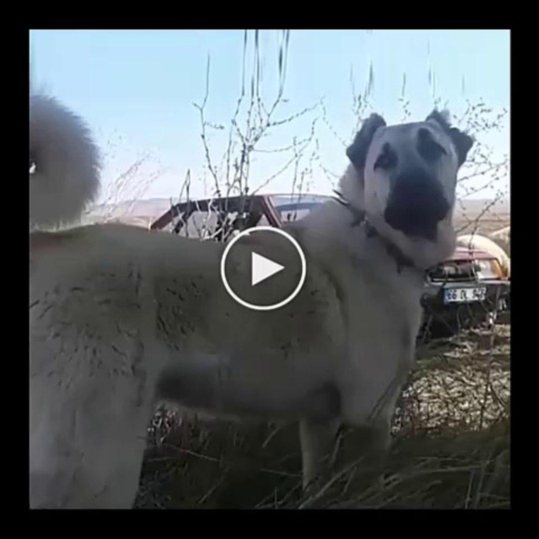 SiMiT KUYRUK KANGAL - ANATOLiAN SHEPHERD SiVAS KANGAL DOG