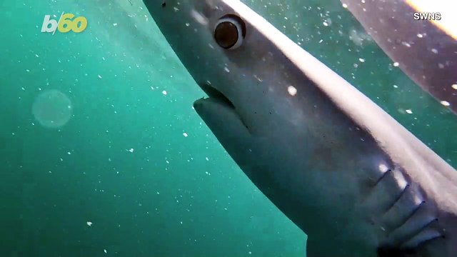 Up Close & Personal! Videographer Spends Over 5 Hours Swimming With Blue Sharks!