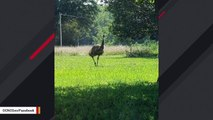 Elusive Emu That Evaded Authorities For Months Dies During Capture