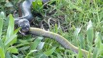 Ce serpent en train d'en avaler un autre est terrifiant