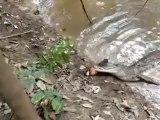 Ce crocodile fait l'erreur de mordre une anguille électrique