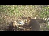 Des singes du Panama seraient entrés dans l'âge de pierre