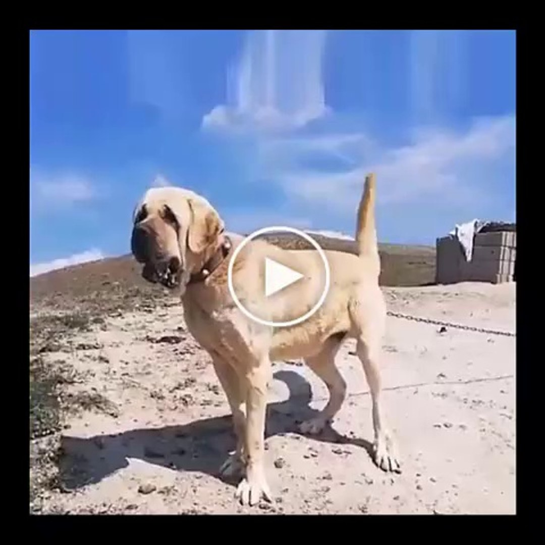 AKSARAY MALAKLI ANADOLU COBAN KOPEGi - MALAKLI ANATOLiAN SHEPHERD DOG