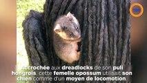 Des opossums accrochés aux dreadlocks de son chien