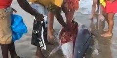 Encuentran a este atún varado en La Manga y en vez de salvarlo, lo cortan en filetes para llevárselo