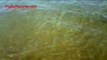 Barletta: spettacolare banco di pesci a riva
