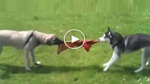 SiBiRYA KURDU vs KANGAL COBAN KOPEGi - SiBERiAN HUSKY vs ANATOLiAN SHEPHERD KANGAL DOG