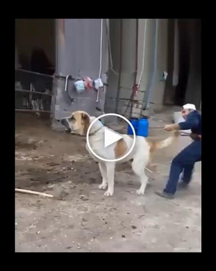 ALA ve SARI ANADOLU COBAN KOPEGLERi - ANATOLiAN SHEPHERD DOG VS
