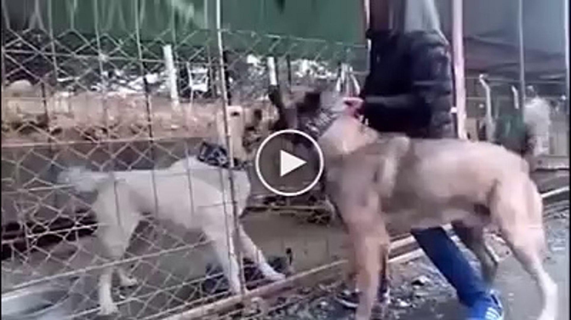 AKBAS vs SiVAS KANGAL KOPEGi - AKBASH DOG vs KANGAL DOG