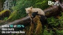 Les ours Kermode, ces ours noirs… au pelage blanc