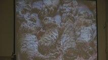 Fallecen 86 de 147 tigres que fueron rescatados de un templo tailandés