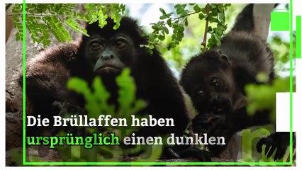 Costa Ricanische Affen verfärben sich aufgrund von Pestiziden?