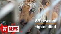 Thai 'Tiger Temple' blames government for deaths of rescued tigers