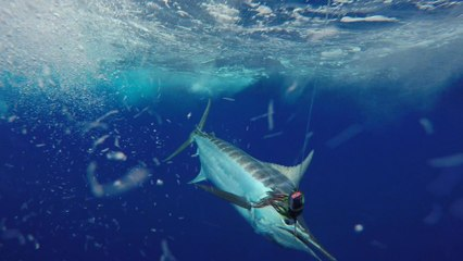Visions of Granders: The Tuna-Marlin Connection