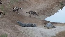 Des dingos viennent embeter 2 crocodiles... Courageux